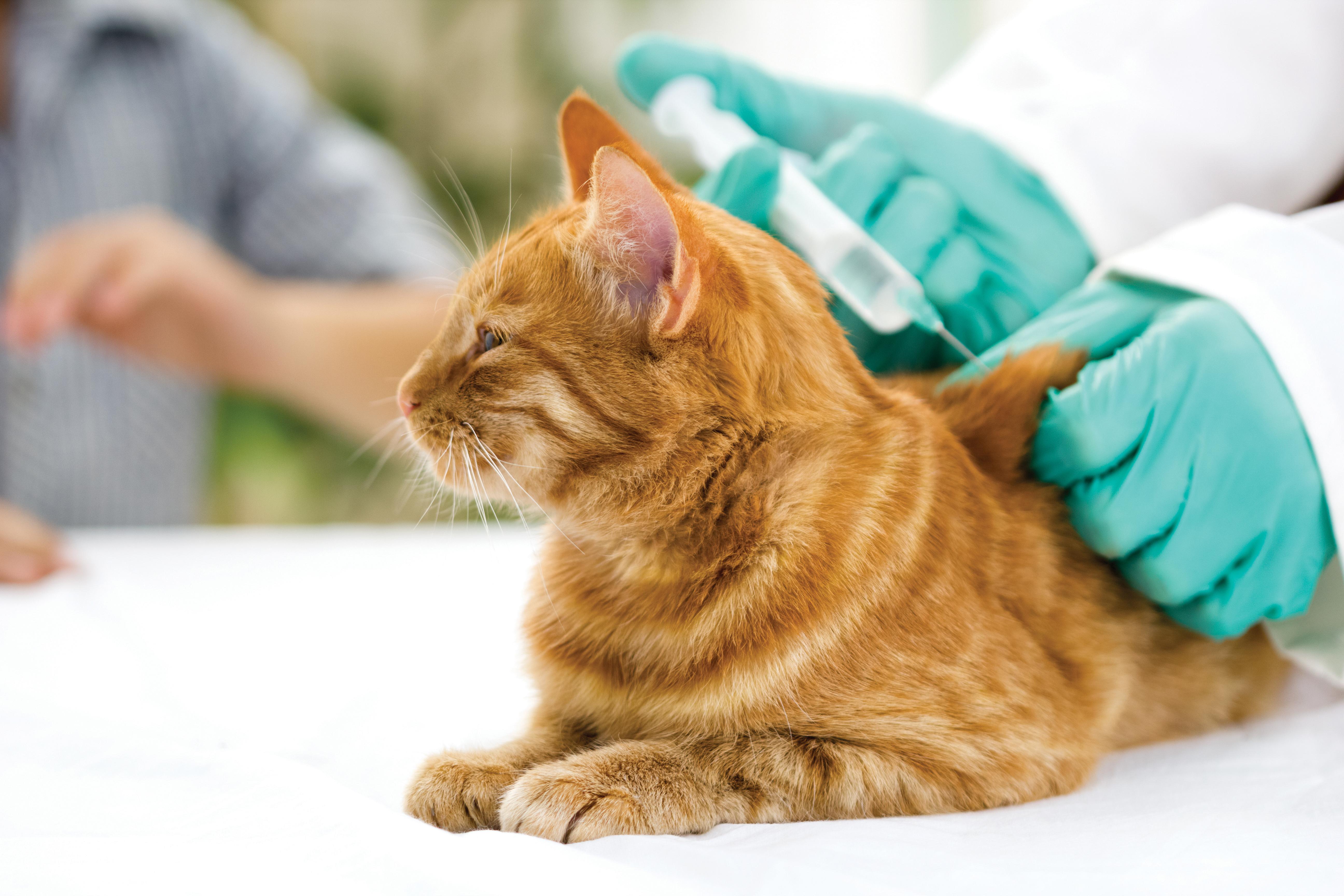 vaccin chaton
