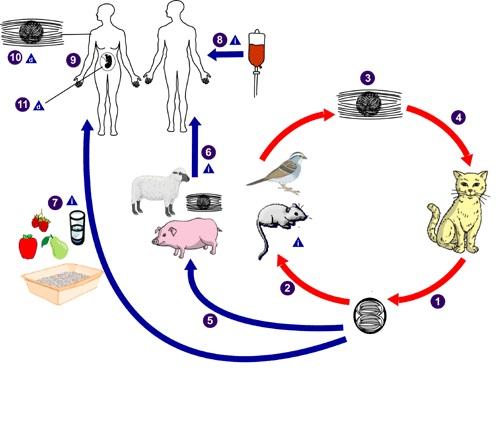 vaccin toxoplasmose